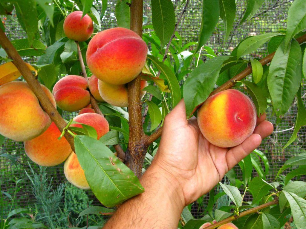 Персик Гринсборо – особенности выращивания