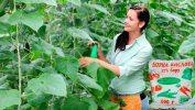 Обработка растений раствором борной кислоты