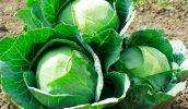 Влияние борной кислоты на капусту