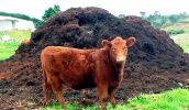 Как применять коровяк