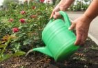 Как и чем подкармливать розы?