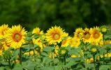 Применение микроудобрений на огороде