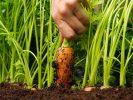 Сульфат аммония (аммоний сернокислый) — как вносить удобрение в почву